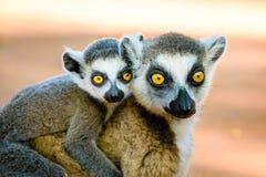 Sonnez le lémur coupé la queue portant le bébé mignon sur examiner arrière le camer Image libre de droits