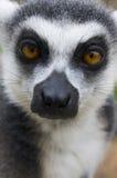 Sonnez le lemur suivi Photographie stock libre de droits