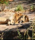 Sonni del leone Immagini Stock