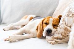 Sonni stanco morti del cane da lepre su un sofà accogliente, strato, coperta fotografia stock libera da diritti