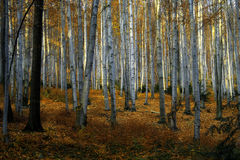 Sonnig, Herbstbuchebäume Stockfotografie
