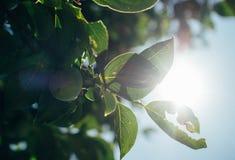 Sonnige Äpfel Stockfotos