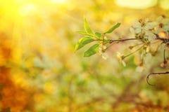 Sonnige Ansichtniederlassung des blühenden Kirschbaums mit Stockfoto