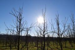 Sonnige Apfelplantage 2 Stockfoto