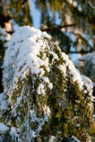 Sonnige Baumabdeckung mit Schnee Lizenzfreie Stockbilder