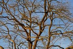 Sonnige bloße Baumaste gegen blauen Himmel Stockfotos