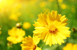 Sonnige Blumen Stockfoto