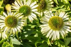 Sonnige Blumen grünen Juwel Echinacea für homöopathische Alternativmedizin lizenzfreie stockfotos