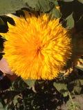 Sonnige Farbe der dekorativen Sonnenblume stockfotos