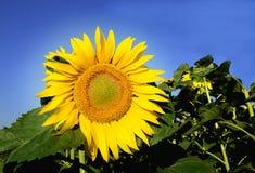 Sonnige gelbe Blume stockbild
