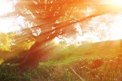 Sonnige Herbstlandschaft im Herbstwald mit dem Abendsonnenlicht, das durch die Niederlassungen des alten gebogenen Baums bricht Lizenzfreie Stockfotos