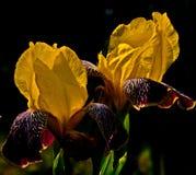 Sonnige Iris stockfotos