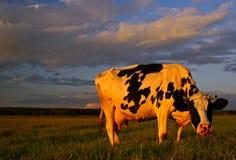 Sonnige Kuh Stockfoto