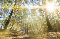 Sonnige Landschaft des Frühlinges in einem Kiefernwald im hellen Sonnenlicht Gemütlicher Waldraum unter den Kiefern, punktiert mi lizenzfreie stockbilder