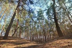 Sonnige Landschaft des Frühlinges in einem Kiefernwald im hellen Sonnenlicht Gemütlicher Waldraum unter den Kiefern, punktiert mi stockfoto
