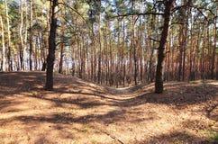 Sonnige Landschaft des Frühlinges in einem Kiefernwald im hellen Sonnenlicht Gemütlicher Waldraum unter den Kiefern, punktiert mi stockbild
