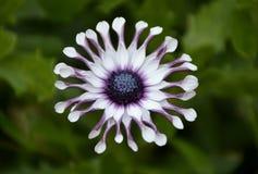Sonnige Philip Blume Osteospermum Lizenzfreies Stockfoto