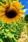 sonnige Sommerblume stockfotografie