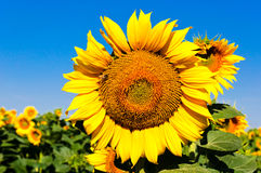 Sonnige Sonnenblume Lizenzfreie Stockfotos