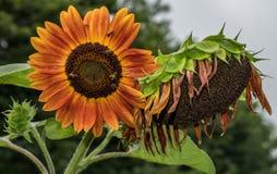 Sonnige Sonnenblume Stockbilder