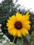 Sonnige Sonnenblumen Lizenzfreies Stockfoto