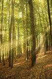 Sonnige Strahlen im Wald Stockfotografie