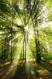 Sonnige Strahlen im Wald Stockbild