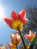 Sonnige Tulpe stockbild