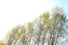 Sonniger Frühlingshimmel und -birken lizenzfreie stockfotografie