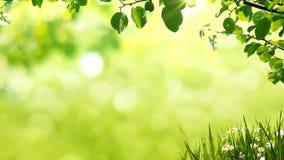 Sonniger Hintergrund mit natürlicher Niederlassung mit grünen Blättern auf der Lichtung mit Kamille stock footage