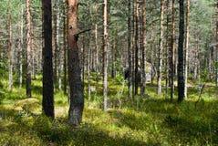 Sonniger Kieferwald mit Kuhweizen blühendem Teppich stockfoto