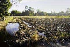 Sonniger Morgen der Reisfelder Lizenzfreie Stockfotos