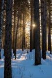 Sonniger Morgen des Winters im Wald Stockbild