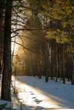 Sonniger Morgen des Winters im Wald Lizenzfreie Stockbilder