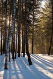 Sonniger Morgen des Winters im Wald Stockfotografie