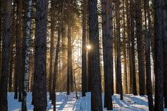 Sonniger Morgen des Winters im Wald Lizenzfreie Stockfotografie