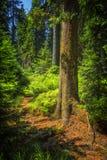 Sonniger Naturwald von Buchenbäumen im Sommer Stockbild