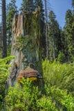 Sonniger Naturwald von Buchenbäumen im Sommer Stockfotografie