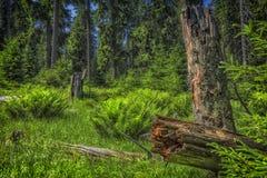 Sonniger Naturwald von Buchenbäumen im Sommer Lizenzfreie Stockbilder