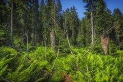 Sonniger Naturwald von Buchenbäumen im Sommer Lizenzfreie Stockfotografie