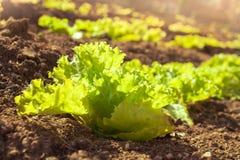 Sonniger organischer Kopfsalat, der im Garten wächst Stockbilder