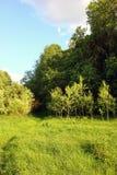Sonniger Rand eines laubwechselnden russischen Waldes mit grünem Gras und te Stockfoto