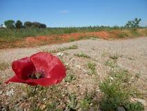 Sonniger Tag in der Land amapola Mohnblume Stockbild