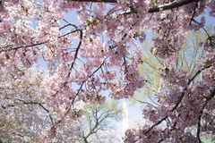 Sonniger Tag der rosa Kirschblumen stockfoto