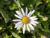 Sonniger Tag der schönen Gänseblümchenblume Stockfotos