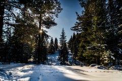 Sonniger Tag des Winters im Koniferenwald in der Hintergrundbeleuchtung lizenzfreies stockfoto