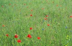 Sonniger Tag unter Mohnblumen Stockfoto