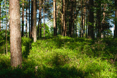 Sonniger Tageskiefernwald und -GRÜNS Stockfoto
