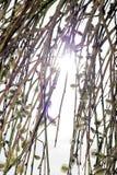 Sonniger Weidenbaum in der Blüte stockfotos
