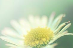 Sonniges Gänseblümchen Stockbild